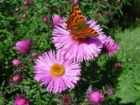 hurtebise papillon