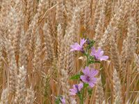 blés fleurs abbaye maumont