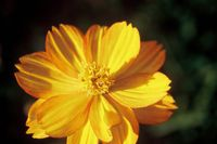 fleur jaune abbaye maumont